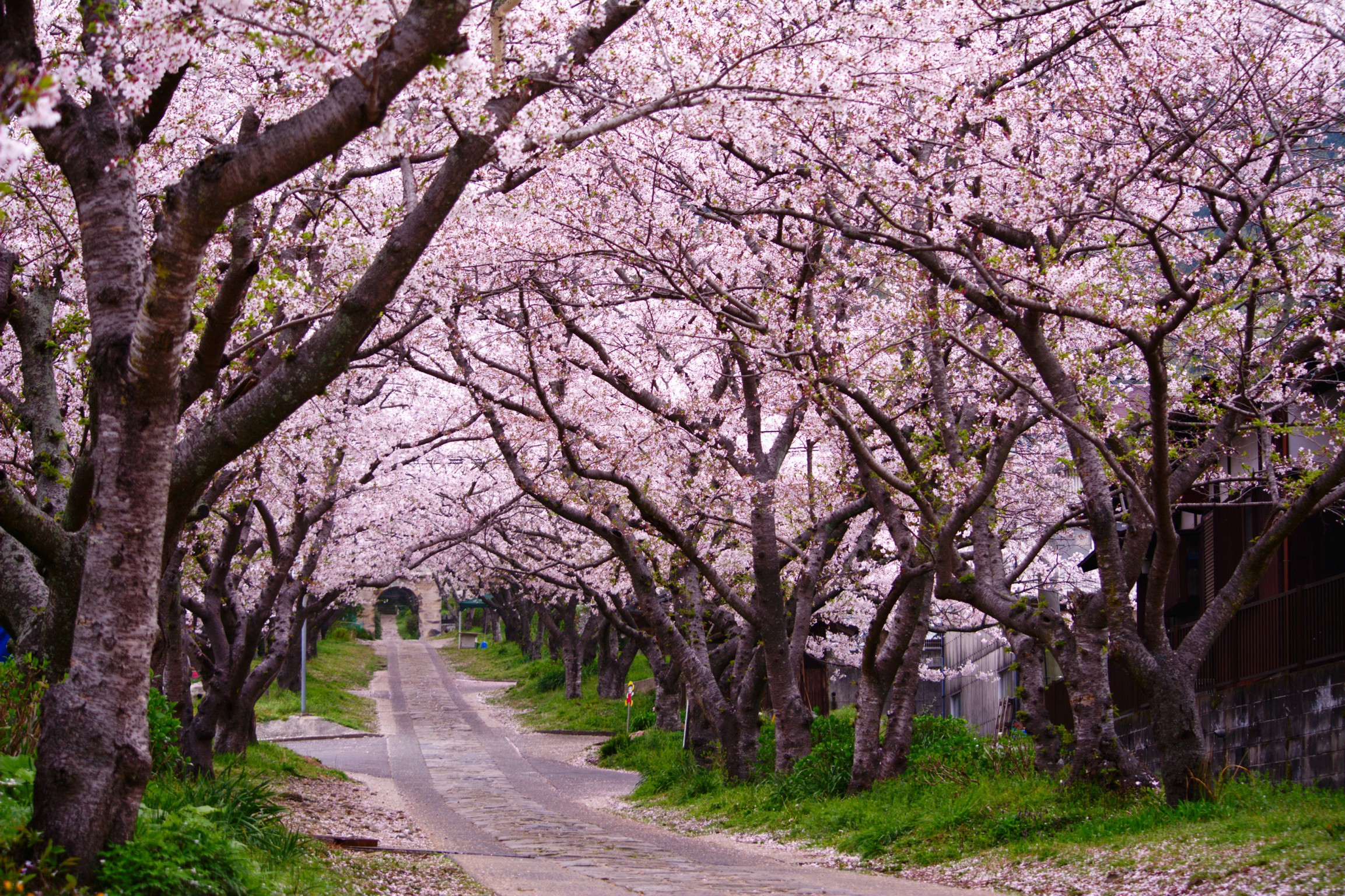 A road lined with blossoming trees